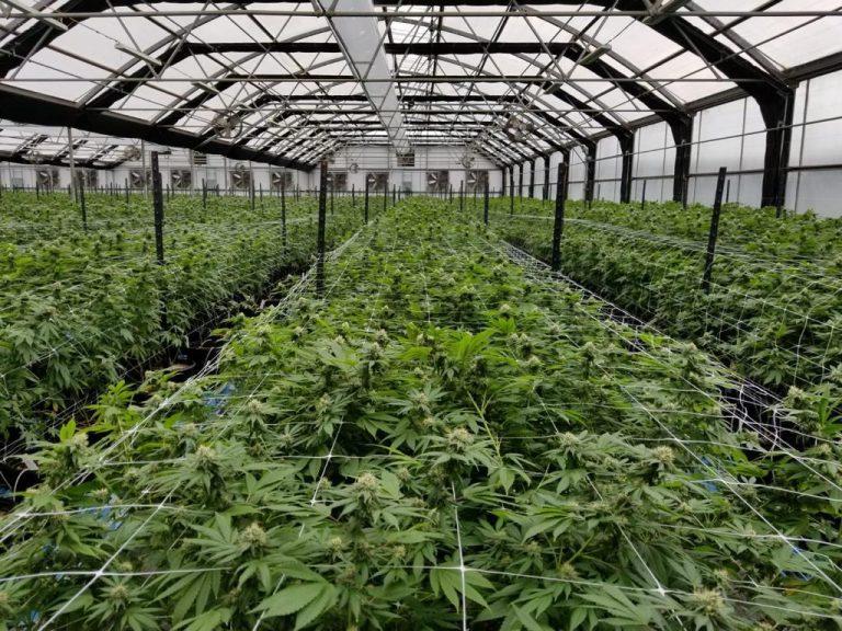 cannabis_farm_field_marijuana_marihuana_oklahoma_poteau