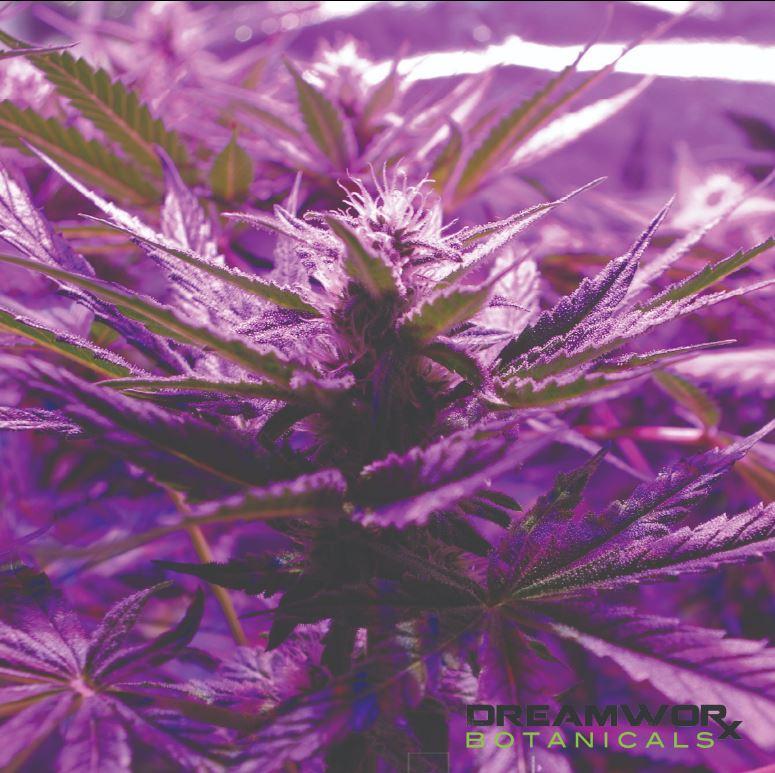 Bulk Cannabis For Sale Oklahoma City - Allium Sativum Benefits - Bulk Cannabis Flower Oklahoma City - Wholesale Cannabis For Sale