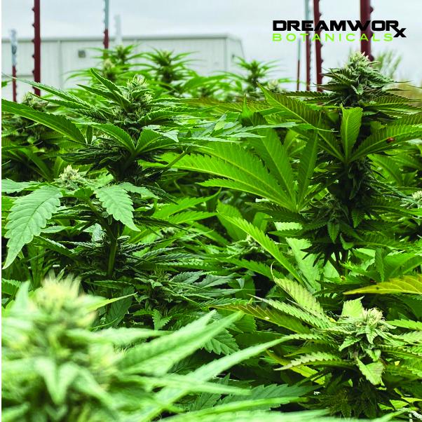 CBD Patches Oklahoma City - DreamWoRx' Full Spectrum Natural - DreamWoRx Botanicals CBD patches OKC - Full Spectrum Tinctures OKC- CBD Patch