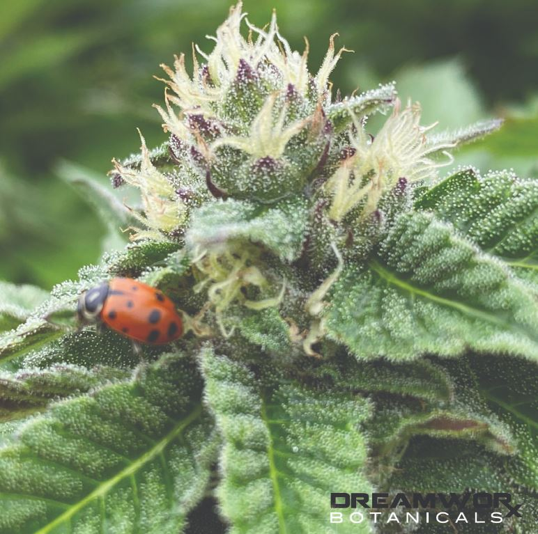 White and Private Label CBD Oklahoma City - The Benefits of Citrus Medica - Best Prices - FOR SALE - Buy CBD CBG - Oklahoma City CBD Oklahoma
