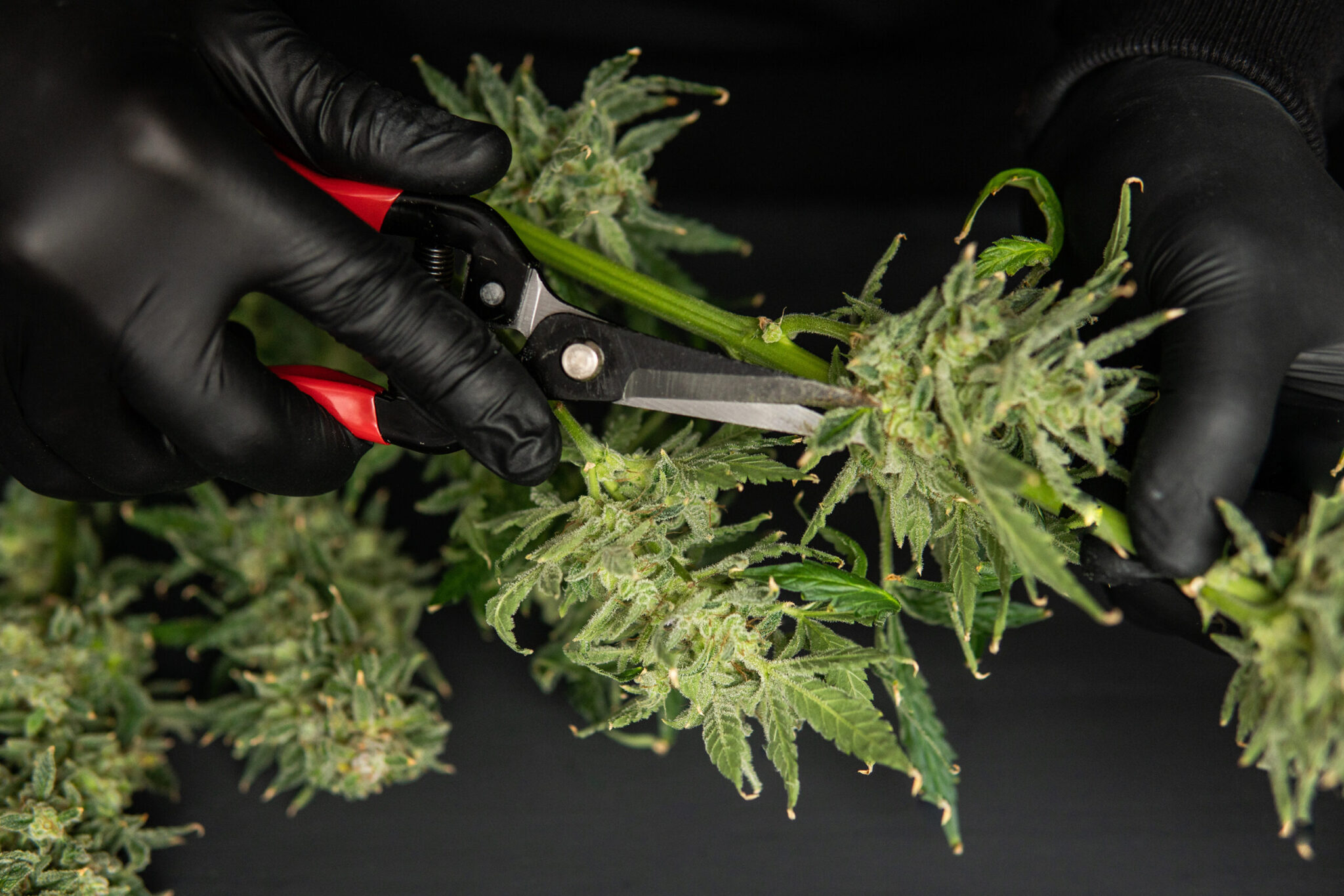 Trim before drying. The sugar leaves on buds . Mans hands trimming marijuana bud. Growers trim their pot buds before drying. Growers trim cannabis buds. Harvest weed time has come.